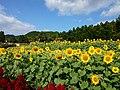 Yamada Sunflower Garden in Miyaki 2016-11-11 01.jpg