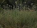 Yarrow, Achillea millefolium (41477093045).jpg