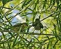 Yellow-bellied White-eye (Zosterops chloris) - Flickr - Lip Kee.jpg