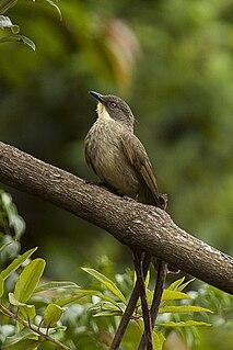 Yellow-throated greenbul Species of bird