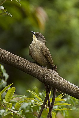 Yellow-throated Greenbul - Uganda H8O3440 (17050580852).jpg