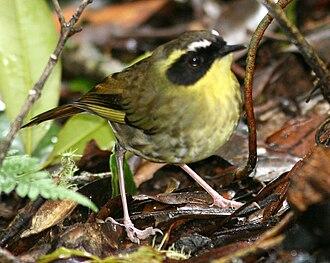 Yellow-throated scrubwren - Image: Yellow throated Scrubwren
