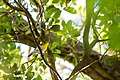 Yellow-throated vireo (41572036582).jpg