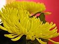Yellow Mum at Tết.jpg