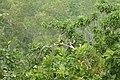 Yellow Oreole (Sunderbans Safari) (38271227116).jpg