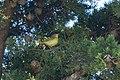 Yellow Warbler (female) Fish Docks Pt Reyes CA 2018-09-19 10-21-07 (44970264794).jpg