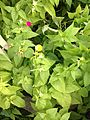 Yellow and red flowers of mirabilis jalapa 20150724.jpg