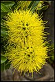 Yellow balls of Flower-1 (34427388042).jpg