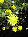 Yellow flowers on green background in Italy.jpg