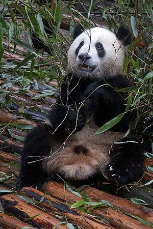 Juvenile giant panda at the Chengdu Research B...