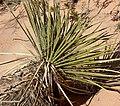 Yucca utahensis 4.jpg