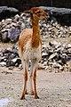 Zürich Zoo DSC 6109 2 (13363360854).jpg