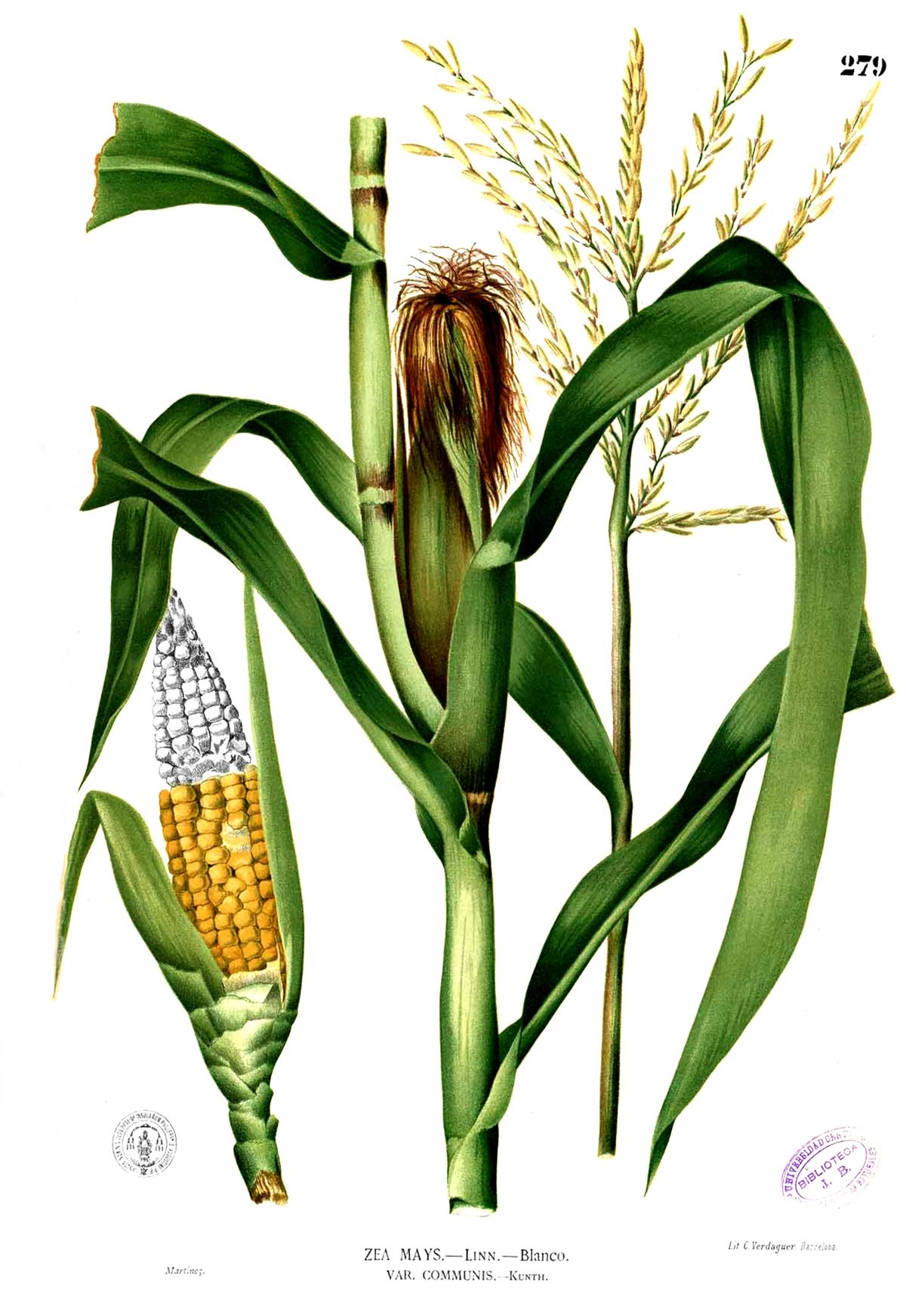 zea mays wikipedia  la enciclopedia libre cornstalk clipart 8 corn stalk clipart free 1200 x 1200