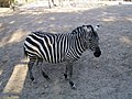 Zebra at Beijing Zoo 2007.jpg
