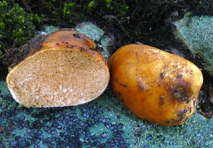 Two round, closed, orange mushrooms placed on a rock, one of them cut in half, exposing convoluted gills that exude some latex