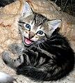 Zemaitijos katinelis.2007-06-24.jpg