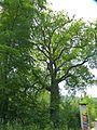Ziffer 2.3-85 aus der Liste der Naturdenkmale, Eiche, östlich Oerlinghauser Str. 120, Bielefeld.jpg