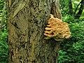 Zwam op Japanse notenboom (Ginkgo biloba) Hortus Haren.JPG