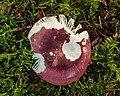 Zwartpurperen russula (Russula atropurpurea) (d.j.b.) 01.jpg