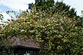 'Lonicera periclymenum' Honeysuckle trellis at Boreham, Essex, England.jpg