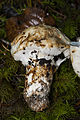 'Pine Mushroom', Tricholoma magnivelare (10963384156).jpg