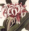 'Victoria Water Lily' by William Sharp in 'Victoria regia', 1854, Loy McCandless Marks Library.jpg