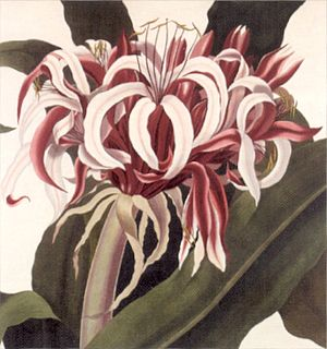 William Sharp (lithographer) - Image: 'Victoria Water Lily' by William Sharp in 'Victoria regia', 1854, Loy Mc Candless Marks Library