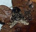 (1925) Small Brindled Beauty (Apocheima hispidaria) (4412342935).jpg