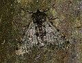 (1926) Pale Brindled Beauty (Phigalia pilosaria) (4331743631).jpg