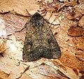 (2387) Mottled Rustic (Caradrina morpheus) (27012746474).jpg