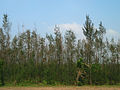 (Casuarina equisetifolia) plantations near Elamanchili 01.jpg