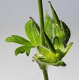 (MHNT) Geranium molle - Immature fruit.jpg