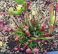 (leucophylla x rubra) x ((purpurea x flava) x flava) (4673010039).jpg