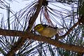 ?? Hermit or Olive Warbler - Rustler Park - Cave Creek - AZ - 2015-08-16at12-33-502 (21014692214).jpg