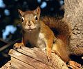 Écureuil roux -- Red Squirrel -c.jpg