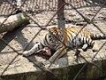 Амурский тигр в Харьковском зоопарке.jpg