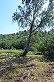Береза - panoramio (1).jpg