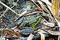 Вербне озеро Жаба озерна DSC 0083.jpg