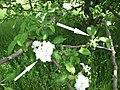 Вторичное цветение яблони (сорт Ренет Кулона).jpg