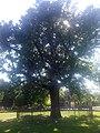 Дуб черешчатий, м. Херсон, Шевченківський парк.jpg