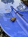 Жаба на веслі.jpg