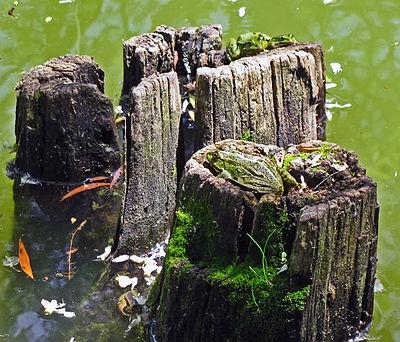Жабки в пруду.jpg