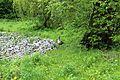 Київський зоопарк Гуска сіра 01.jpg
