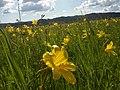 Лилейное поле в районе села Егорьевка.jpg