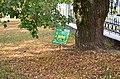 Липа войлочна по вулиці Соборній, 2 у Кам'янець-Подільському. Фото 1.jpg
