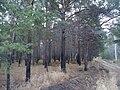 Распаханная территория земли от пожаров в лесополосе.jpg
