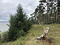 Сосновый лес на берегу Горьковского моря.jpg