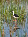 Ходулочник - Himantopus himantopus - Black-winged stilt (Common stilt, Pied stilt) - Кокилобегач - Stelzenläufer (34092846436).jpg