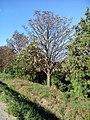 Цветение осеннего каштана - panoramio.jpg