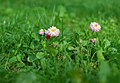 Цветы в парке Шевченко DSC 5207 2.jpg